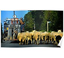 Sheep Herding Along A Country  Road Poster