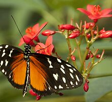 Tiger Longwing by Thea 65