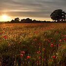 Evening poppies by Rachael Talibart