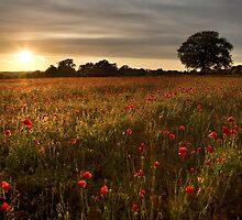 Evening poppies by Rachael Talibart