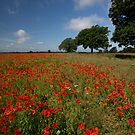 Poppy field, Send by Rachael Talibart