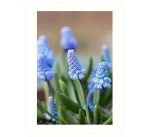 Blue Grape Hyacinths Art Print