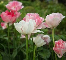 Pink and white tulips by Judi Lion