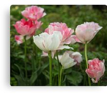 Pink and white tulips Canvas Print