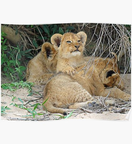 Cuddly cubs! Poster