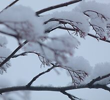 Snow on the Mountain Ash by jmc1313