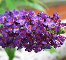 Blessed with the Best - Deep Purple Buddleia After Rain by BlueMoonRose