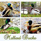 Mallard Ducks by ©The Creative  Minds