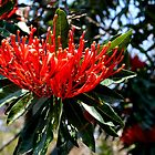 Australian Native Flora by Sally Murray