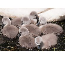 Cygnets Photographic Print