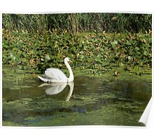 Swan in the Swamp Poster
