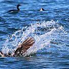 Pelican diving at malibu by Tim Horton