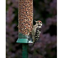 Lesser Spotted Woodpecker Photographic Print