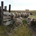 Texel Sheep by Kaleidoking