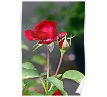 Red Rose and Bud Poster