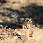 Grand Canyon Chipmunk by Jennifer Heseltine