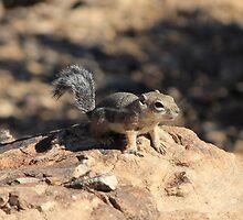 Grand Canyon Chipmunk by Jennifer Heseltine