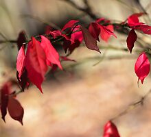 Burning Bush - Euonymus alatus by MotherNature2