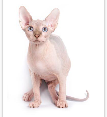Sphinx kitten with blue eyes Sticker