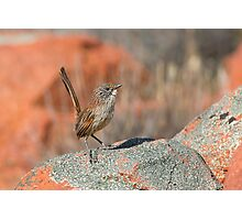 Short-tailed Grasswren - Mt Ive, South Australia Photographic Print