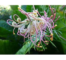 *Grevillea unfolding its beautiful Bloom* Photographic Print