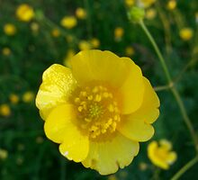 Buttercup by Emily Sparkes