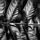Leaf Line by Bob Larson