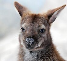 Bennett's Wallaby by Nick Delany