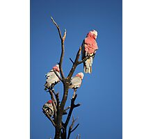 Galahs In the Afternoon Sun Photographic Print