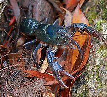 Tasmanian Burrowing Crayfish by Nick Delany