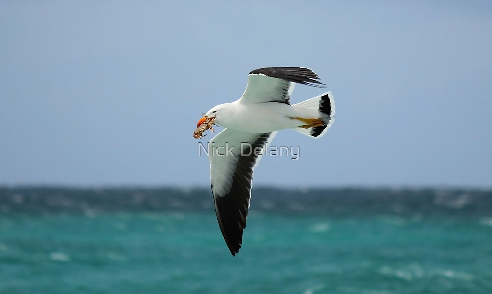 Pacific Gull and Surf Crab by Nick Delany