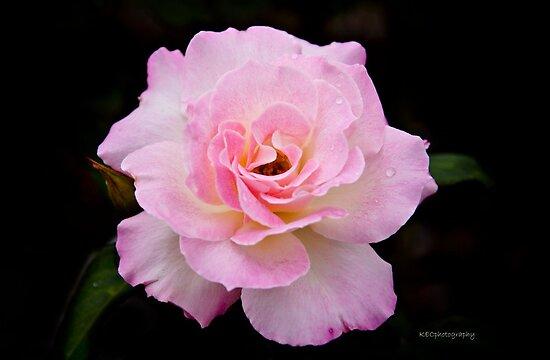 Pink Frills by Karen E Camilleri