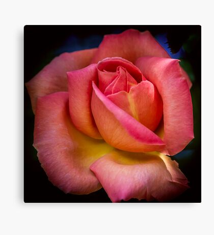 A Blooming Rose Canvas Print