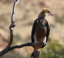 Whistling Kite by Nick Delany