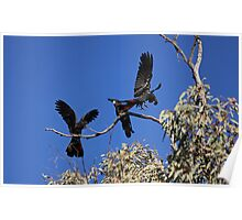 Red-Tailed Black Cockatoos Dancing Poster