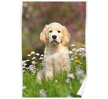 Goldie Puppy Poster