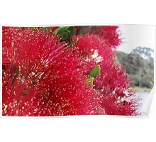Pohutukawa ~ New Zealand's own christmas tree Poster