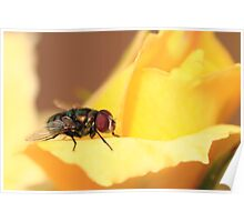 Fly in Macro Poster