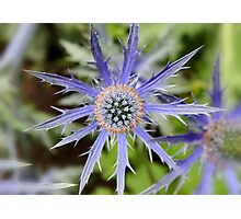 Sea Holly - Blue Thistle Photographic Print