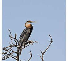 African Darter Photographic Print