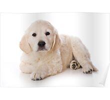 Fluffy Puppy golden retriever Poster