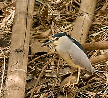Black-crowned Night Heron by Sue Robinson