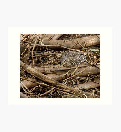 Black-crowned Night Heron, Juvenile Art Print