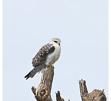 Black-shouldered Kite Photographic Print