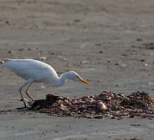 Cattle Egret on Tanji Beach by Sue Robinson