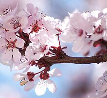 Plum Tree Blossom by gladyanne