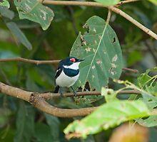 Common Wattle-eye by Sue Robinson
