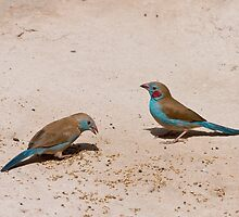 Red-cheeked Cordon-Bleu pair by Sue Robinson