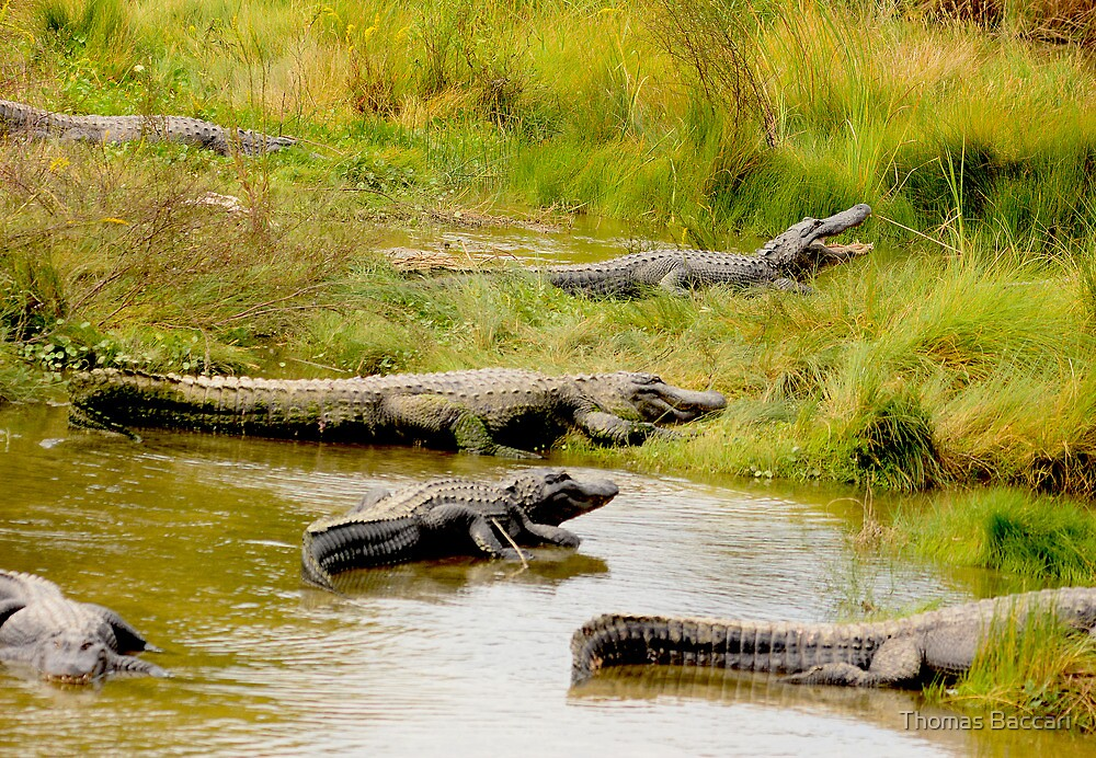 Alligator Meeting by TJ Baccari Photography