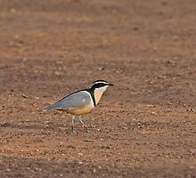 Egyptian Plover by Sue Robinson